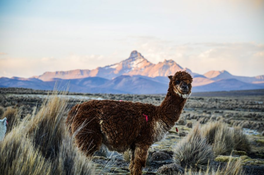 Sajama National Park with Llamas