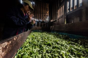 New Inca Trail to Machu Picchu, Carcel Trek - Tea leaves for production