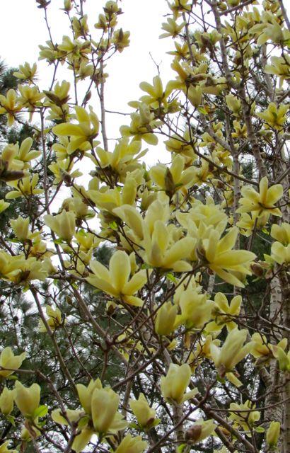 Magnolia Elizabeth  Piedmont Gardener