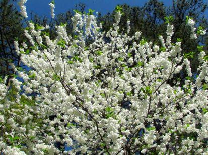 Native Halesia diptera in glorious spring bloom