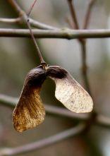 Japanese Maple seed