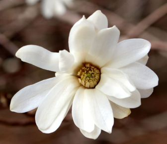 The sweet fragrance of a newly open and undamaged blossom hints at the coming of spring.