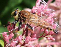 A Robber Fly seeking unwary prey