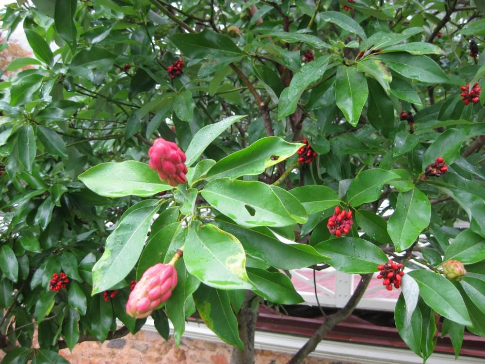 medium resolution of sweetbay magnolia seedpods