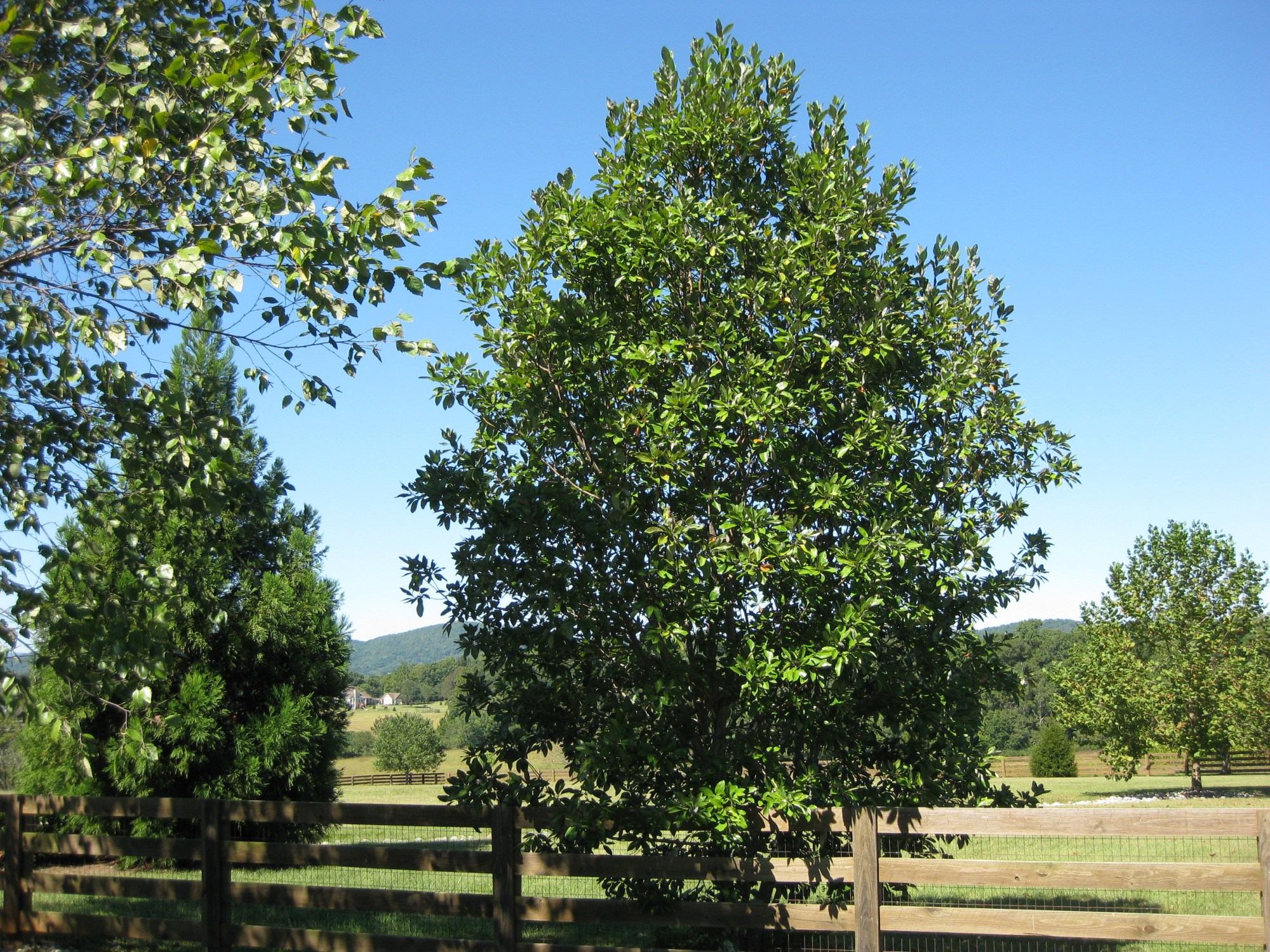 hight resolution of sweetbay magnolia specimen south of charlottesville