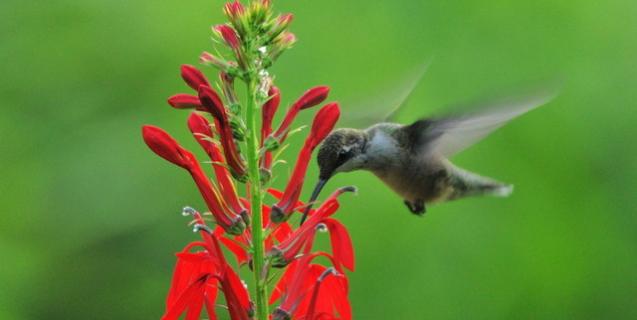 Gardening For Hummingbirds Piedmont Master Gardeners