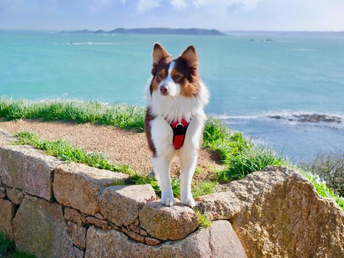 Perros-Guirec : sentiers des douaniers avec son chien