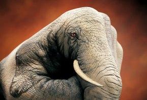 GuidoDaniele-elephant-on-brown