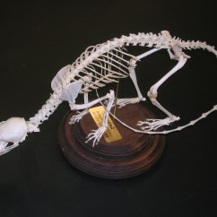 Opossum Skeleton Diagram Mini Usb Port Wiring Bio270 Build A Critter