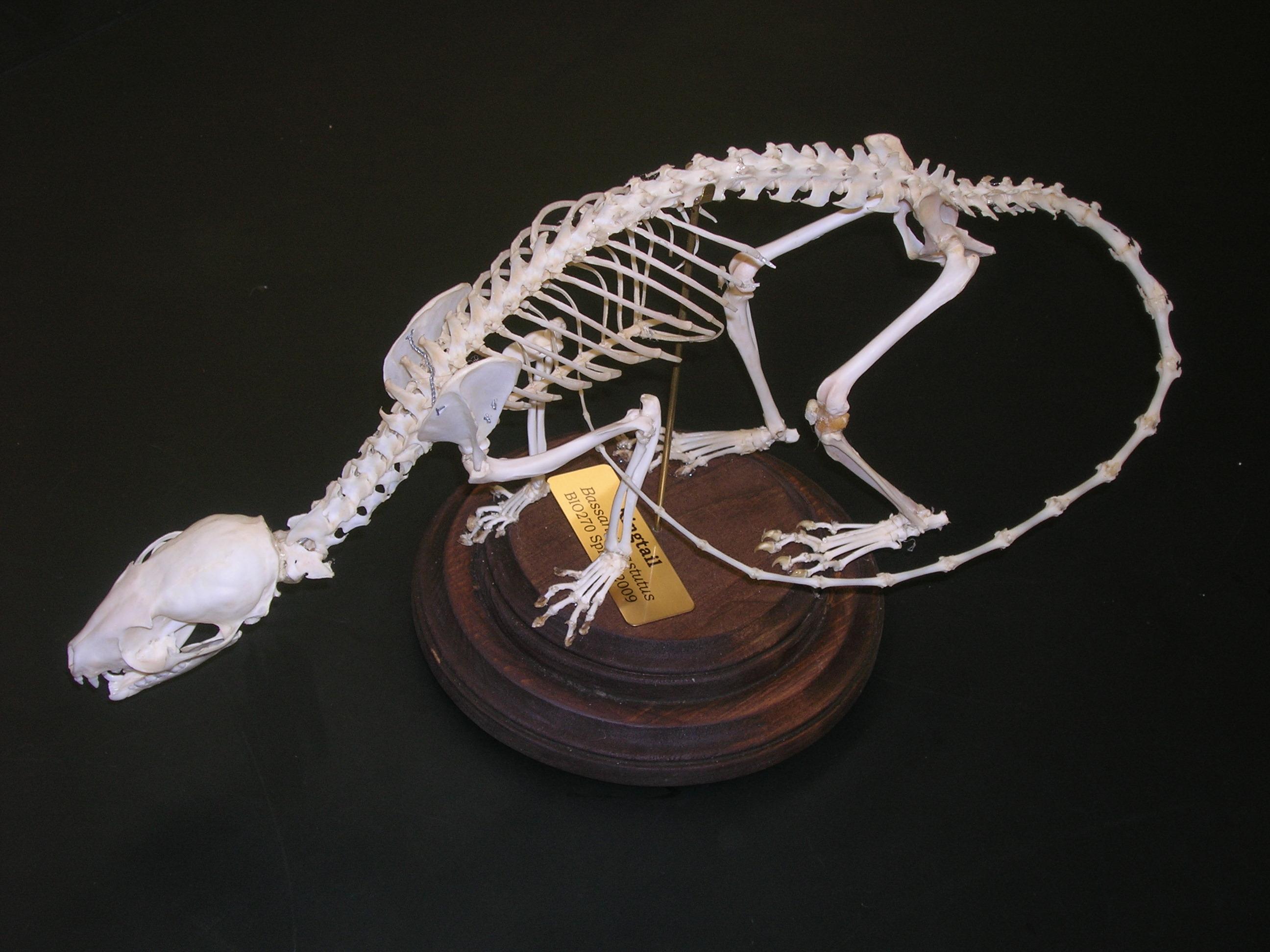 opossum skeleton diagram aiphone lef 3 wiring bio270 build a critter