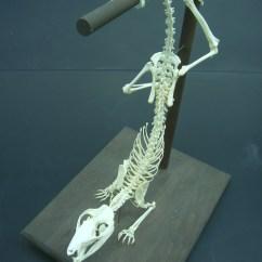 Opossum Skeleton Diagram External Wastegate The Gallery For Gt Skunk