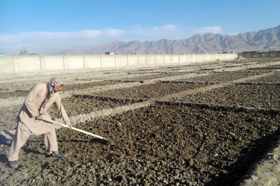 Expérience - Préparation traditionnelle du sol avant le semis du blé, Bene Heasar, Kaboul, Afghanistan