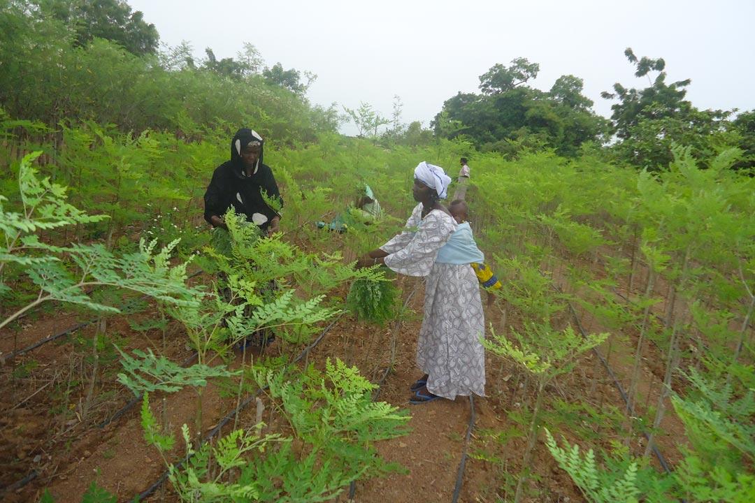 Culture de Moringa oleifera, Réo, Burkina Faso