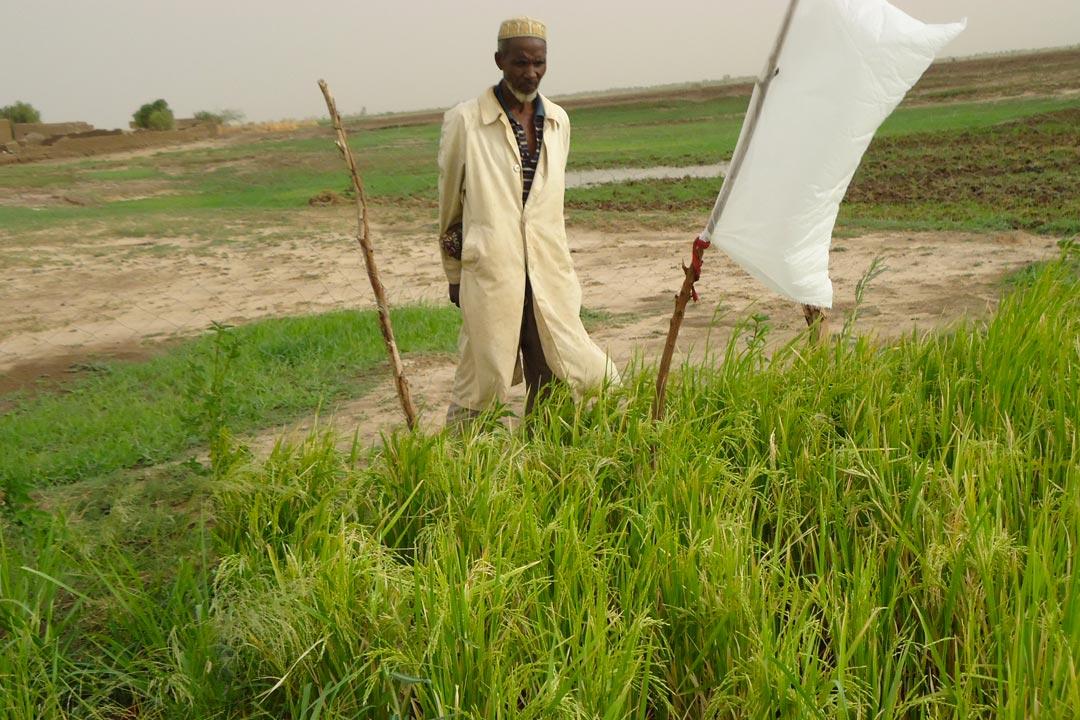 Expérience - Expérimentation de système agroécologique de riziculture intensive (SARI) au Nord Mali