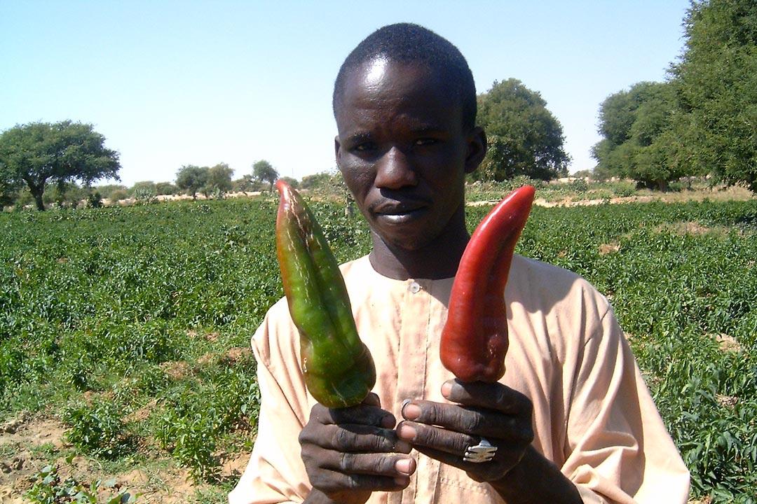 Paysan nigérien devant son champ, présentant la variété locale de poivron Corne-de-bouc, rive de la Komadougou, Yobé, Niger