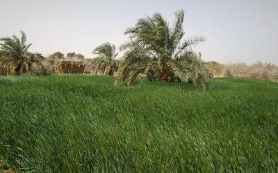 Diagnostic d'une palmeraie mauritanienne