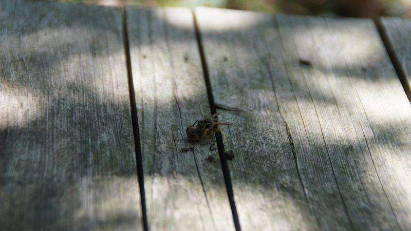 Eine Wespe hat eine Biene gefangen