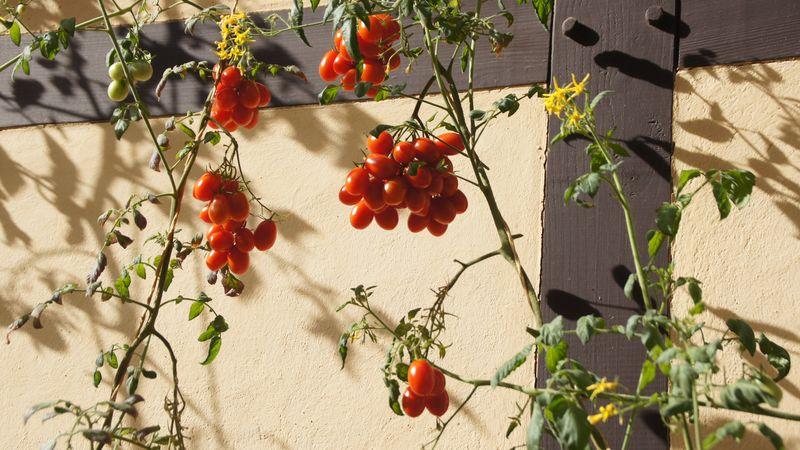 Tomaten ranken sich an der Wand des Hofladens empor