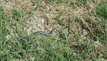 Kyykäärme ruohikolla