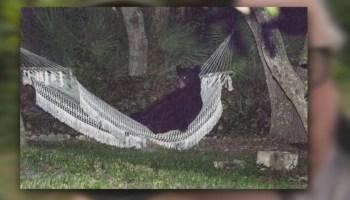 img-Bear-lies-down-in-hammock-in-Daytona-Beach-neighborhood