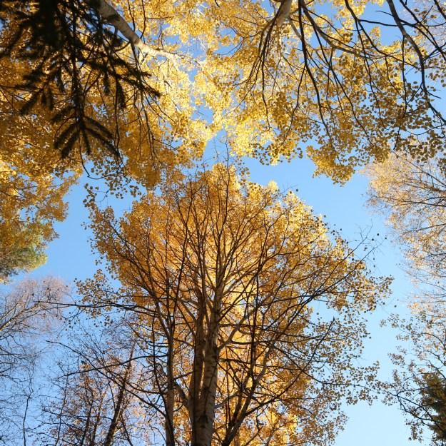 Keltaiset lehdet puissa.