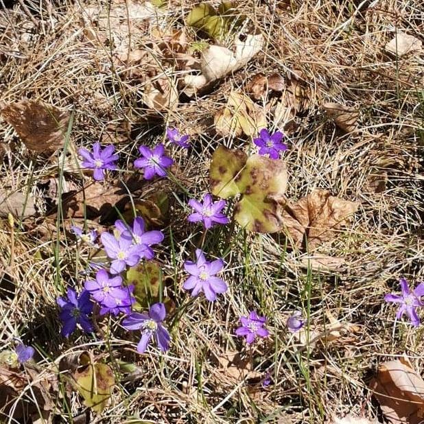 Keväiset säät ja sinivuokkoja bongattu.