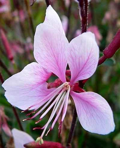 Gaura lindheimeri Siskiyou Pink - Prachtkaars