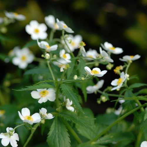 Ranunculus aconitifolius - Boterbloem