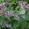 Salvia verticillata Hannay's Blue