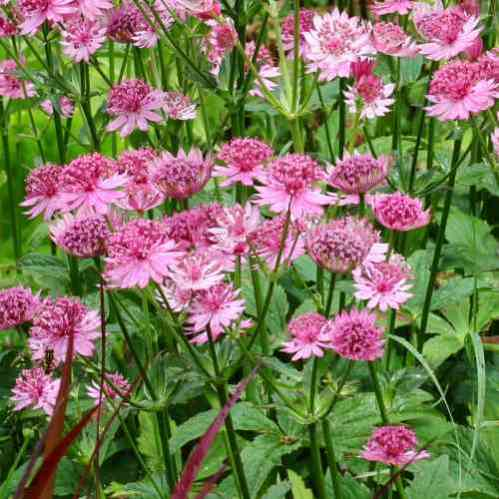 Astrantia major Roma - Zeeuws Knoopje