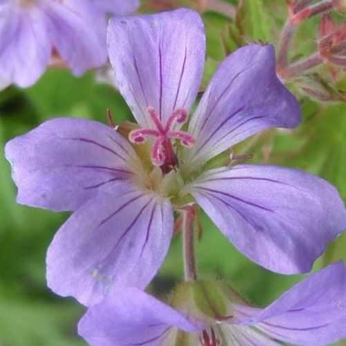 Geranium Prelude - Ooievaarsbek