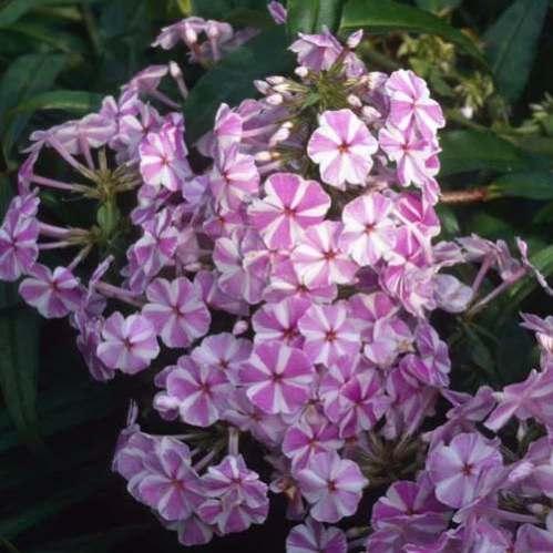 Phlox maculata Natasha - Vlambloem - Floks