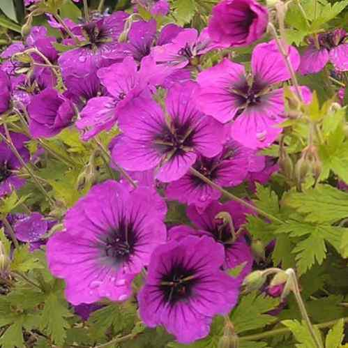 Geranium Anne Thomson close up