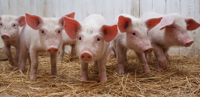 Image result for pig farming