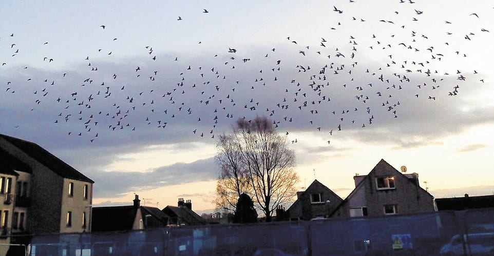 pigeons wow