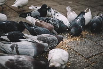 Welcome - Pigeon Vitality