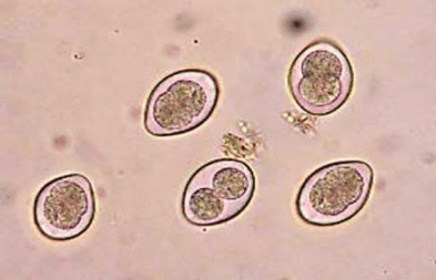 Oocysts of coccidia Eimeria sp