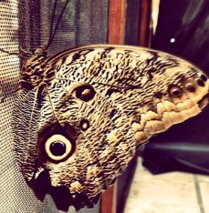 A Spying Butterfly! Watch out for these sneaky bitches. They will watch you with real eyes and fake eyes.