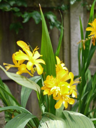 crocosmia-yellow(jul17)