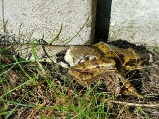 grass-snake&frog(jul17)
