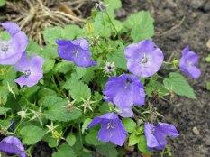 lilac-bells(jul17)