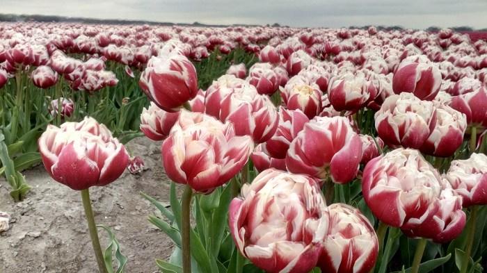 tulipanova18