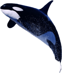Killer Whale Png Transparent Images Orca Whale Transparent Background Clipart Large Size Png Image PikPng