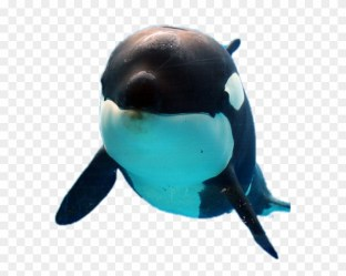 Orca Sticker Killer Whale Clipart #4547442 PikPng