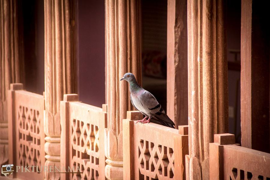 Narendra Bhawan bikaner pigeon