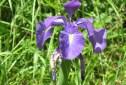 cropped-iris-latifolia-lirio.jpg