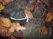 Weisser Knollenblätterpilz, giftig