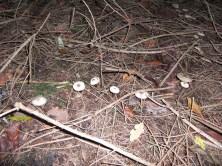 Mousseron (Scorodonius), Der Hut ist essbar und riecht nach Knoblauch.