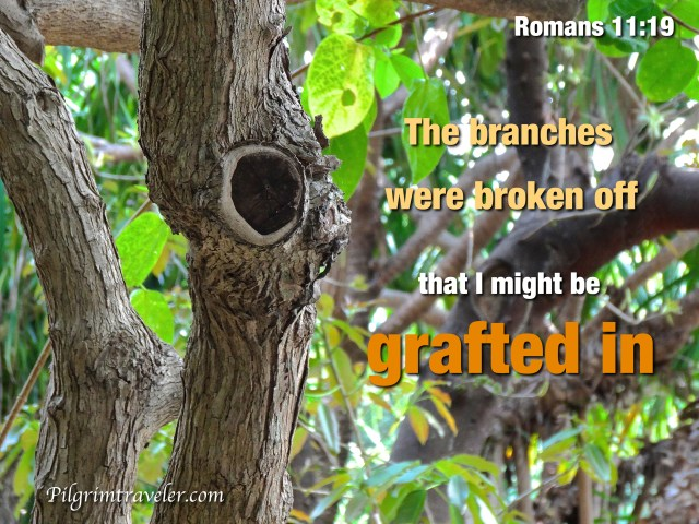"Romans 11:19 Thou wilt say then, ""The branches were broken off, that I might be grafted in."""