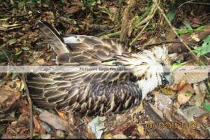 Photo credit Philippine Eagle Foundation (Official)